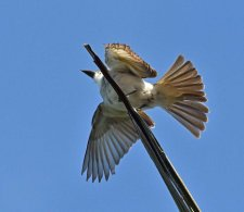 Loggerhead Kingbird in flight