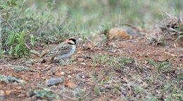 Fisher's Sparrow Lark