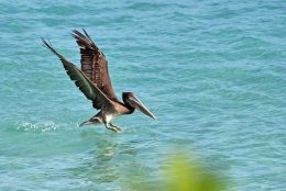 Brown Pelican fishing