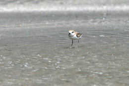 Malaysian Plover