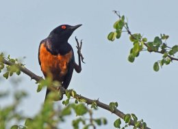 Hildebrand's Starling