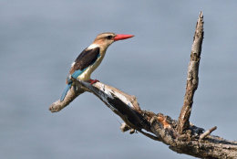 Brown-headed Kingfisher
