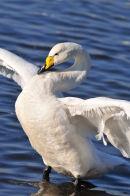 Whooper Swan.