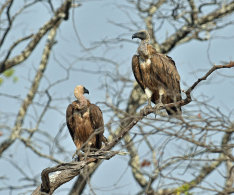 White-backed Vulture