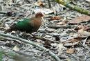Emerald Dove.