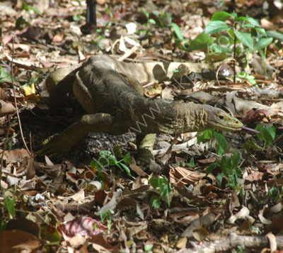 Yellow-spotted Monitor Lizard.
