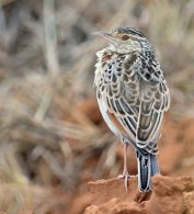 Red-winged Lark