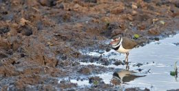 Three-banded Plover
