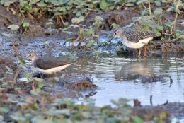 Marsh and Wood Sandpipers