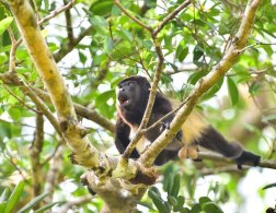 MantledHowler Monkey