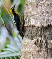 Golden-napped Woodpecker