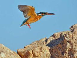 Common Kingfisher in flight