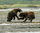 Brown Bears fighting over a salmon.