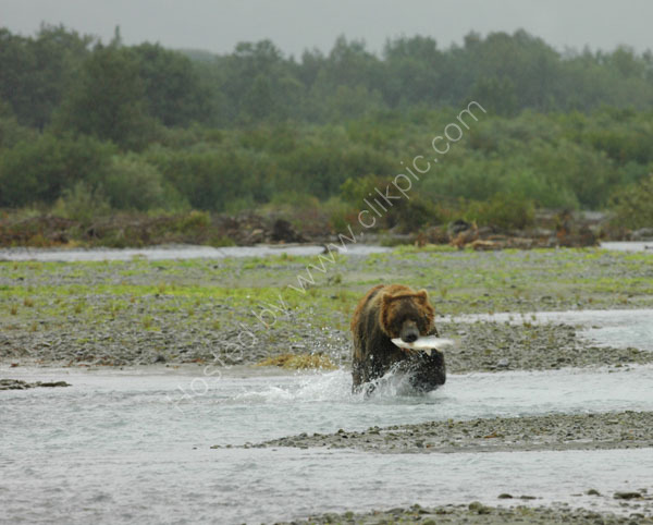 Brown Bear with a salmon.