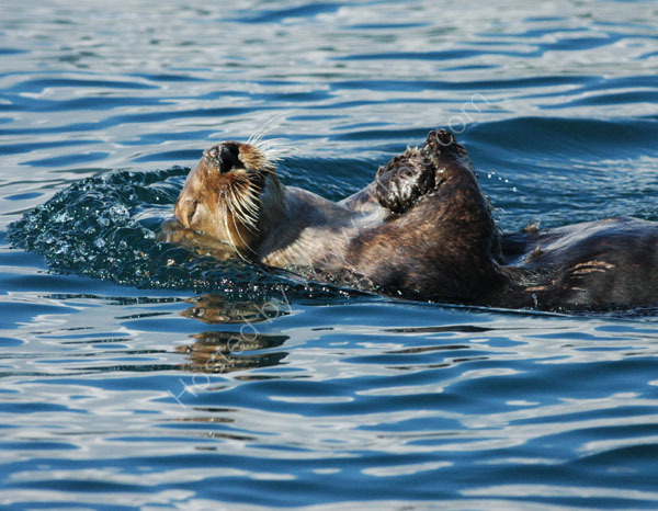 Sea Otter relaxing.
