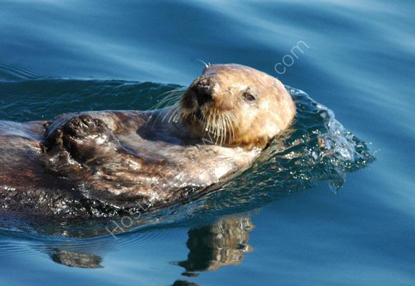 Sea Otter.