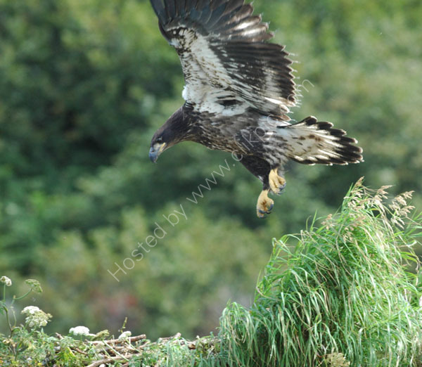 A juvenile Bald Eagle learning to fly.