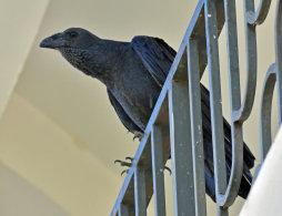 Fan-tailed Raven