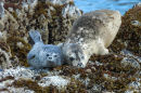A mother and pup Harbour Seal.
