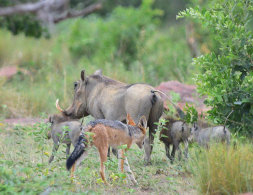 Black-backed Jackel hunting Warthogs