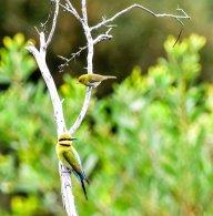 Rainbow Bee-eater and Silvereye
