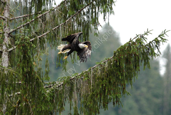 A Bald Eagle flying away.