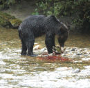 A Brown Bear with the remains of a Chum Salmon.