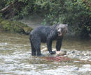 A Brown Bear with a Chum Salmon.