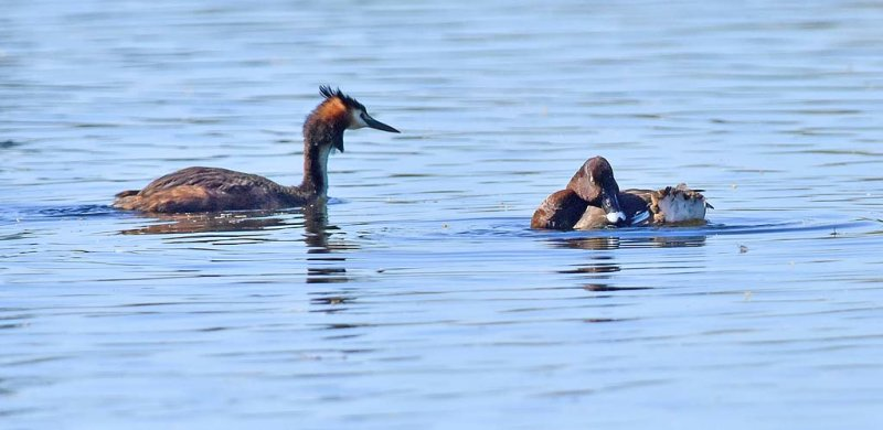 Great Crested Grebe and Hardhead