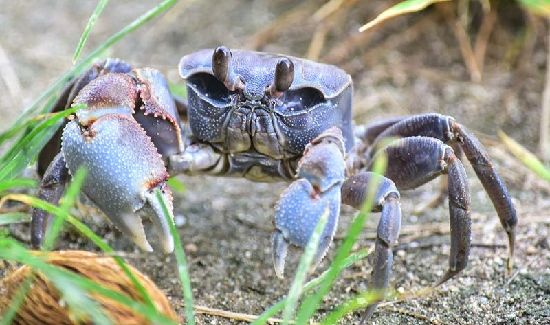 Chunky Ghost Crab