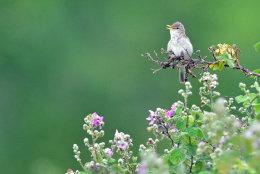 Easyern Olivaceous Warbler