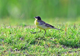 Black-headed Yellow Wagtail