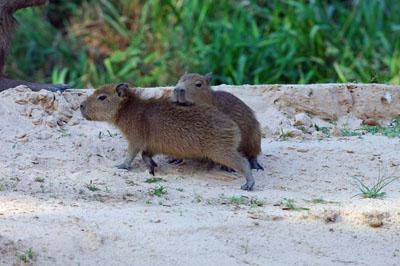 Capybara.