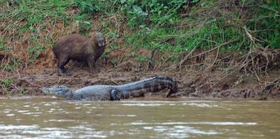 Capybara and Paraguayan Caiman.