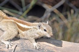 Five Stripped Palm Squirrel