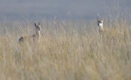 Przewalski's Gazelle