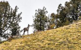 McNeil's Deer
