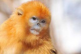 Golden Snub-nosed Monkey Portrait