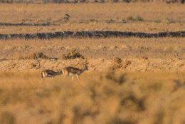 Goitred Gazelle