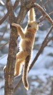 Golden Snub-nosed Monkey climbing Tree