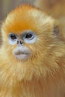 Golden Snub-nosed Monkey Portrait