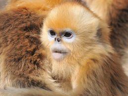 Golden Snub-nosed Monkey