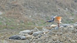 Crested Ibis