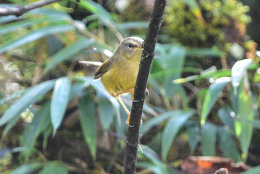 Yellow-bellied Bush Warbler