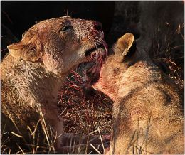 Female Lions washing during the kill