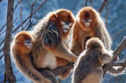 Golden Stub-nosed Monkey Family