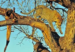 Leopard leaving the kill