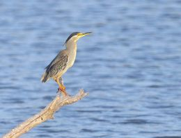 Greenbacked Heron