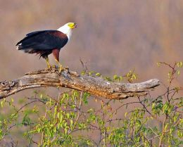 African Fish Eagle with catch