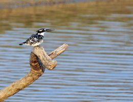 Pied Kingfisher calling